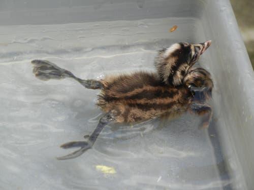 Ein kleiner Haubentaucher trainiert statt im Bodensee in einem Plastikbecken der Vogelpflegestation. (Bild: Christian Müller - 17. August 2011)