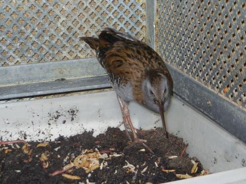 Eine Wasserralle wird in der Vogelpflegestation gefüttert. (Bild: Christian Müller - 27. Februar 2013)