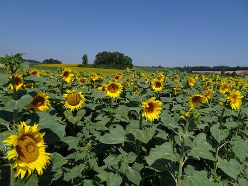 Sonnenblumenfeld bei Dinhard ZH (Bild: Hubert Koch)