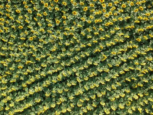 Tausende von Sonnenblumen bei Engwilen. (Bild: Markus Spies)