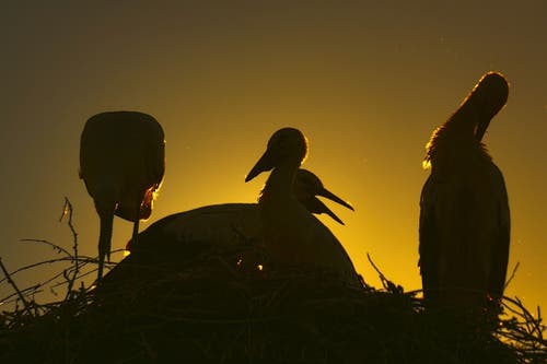 Störche mit Jungen im Altstätter Abendlicht. (Bild: Toni Sieber)
