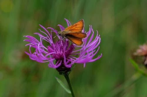 Dickkopffalter auf einer Flockenblume am Wenigerweiher. (Bild: Franz Häusler)