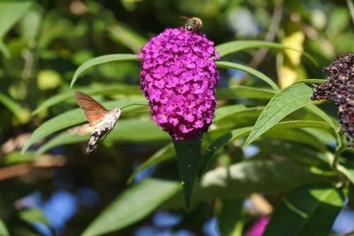 Ein Taubenschwänzchen an einer Blüte. (Bild: Roman Büeler)
