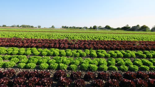 Die Salatwelt am Rheinspitz (Bild: Fredy Zünd)
