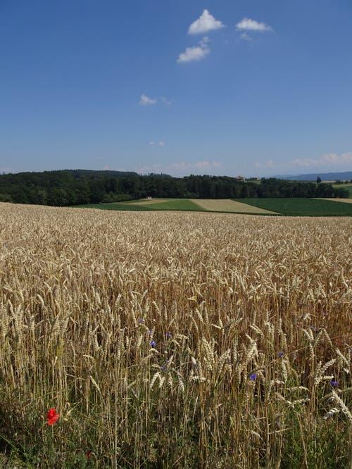 Kornfeld mit Mohn und Kornblumen oberhalb Hochwacht, Klingenzell/Mammern(Bild: Hubert Koch)