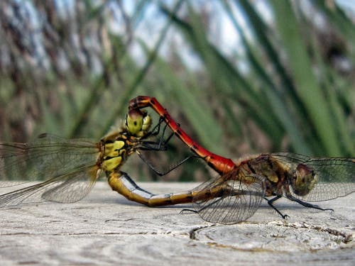 Paarungsrad der Heidelibellen (Bild: Toni Sieber)