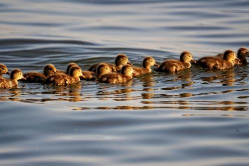 Ein gutes Jahr für Entenbabys! (Bild: Toni Sieber)