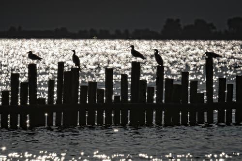 Kormorane im Gegenlicht am Bodensee (Bild: Toni Sieber)