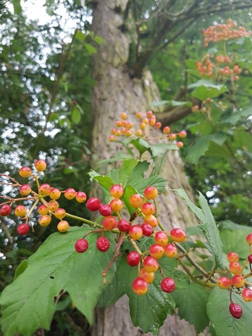Farbenprächtige Beeren in Hohentannen. (Bild: Reto Schlegel)