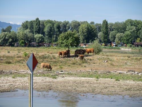 Von dieser Landzunge in der Mündung des Alten Rheins wäre gewöhnlich nur wenig zu sehen. Nun weiden hier Rinder.