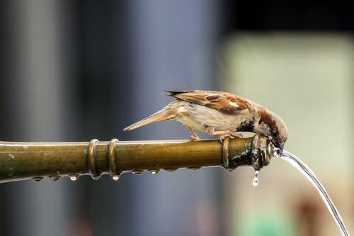 Durstiger Spatz in der Stadt St.Gallen (Bild: Franziska Hörler)
