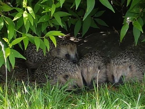 Vier Igelkinder in Gossau. (Bild: Irene Hauser)