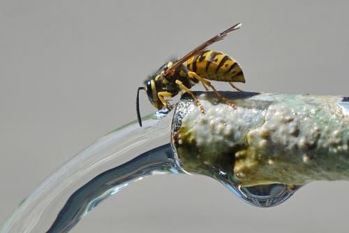 Oberstammheim: Auch Wespen brauchen Wasser (Bild: Christian Müller)