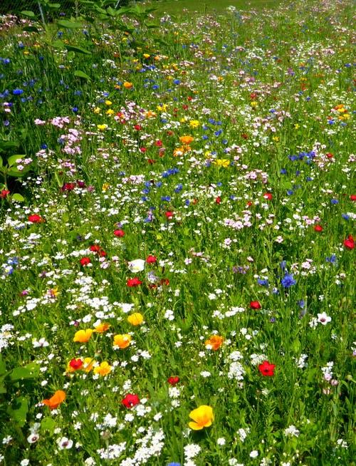 Wunderbar blühende Blumenwiese in Ermatingen. (Bild: Jolande Ribi)