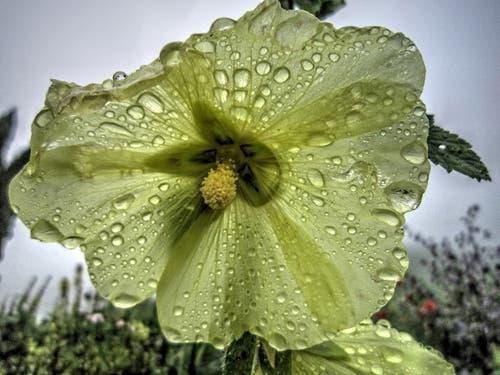 Malve im Montlinger Regen. (Bild: Toni Sieber)