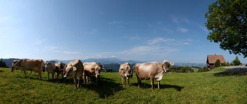 Kühe geniessen die Sommerwiese auf der Hohen Buche, Bühler. (Bild: Hans-Jörg Nüesch)