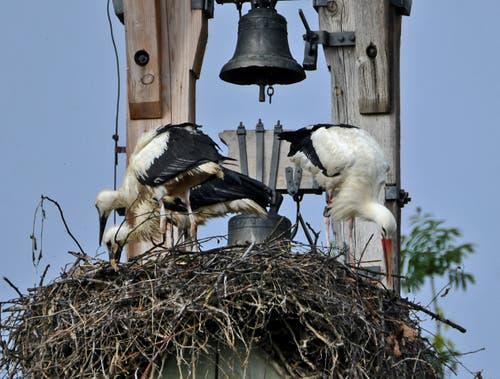 """Die Jungstörche bei der """"Trockenübung"""", der Storchenvater sucht noch nach Fröschen! (Bild: Walter Schmidt)"""