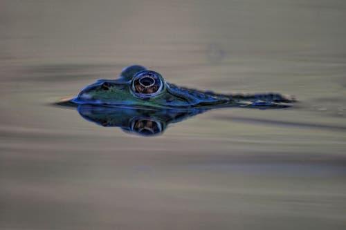 Wasserfrosch, ganz nah. (Bild: Toni Sieber)