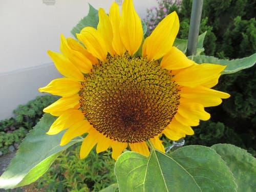 Eine Sonnenblume in einem Garten. (Bild: Claudine Germann)
