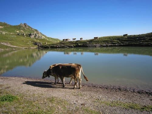 Noch haben sie Wasser... Kühe an der Route der 5 Seen Wanderung. (Bild: Toni Sieber)
