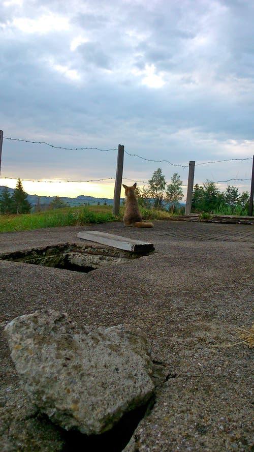 Der schlaue Fuchs geniesst den Sonnenuntergang auf der Knechtsegg bei Hundwil. (Bild: Thomas Buff)