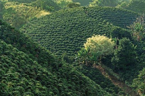 Die Kaffeezone ist der Obstgarten Kolumbiens. Kaffeesträucher wachsen neben Avocadobäumen und Bananenstauden.