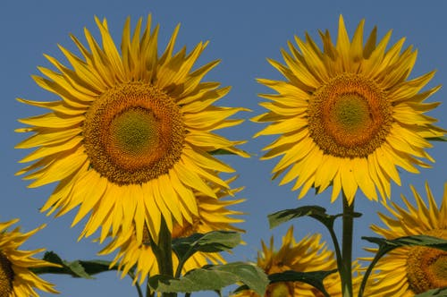 Auf dem Acker von Nathalie und Alois Bammert strahlen diese beiden Sonnenblumen mit der Sonne um die Wette. (Bild: Peter Helfenstein)