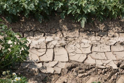 Risse durchziehen ein ausgetrocknetes Kartoffelfeld in der Schweiz. (Bild: Keystone)