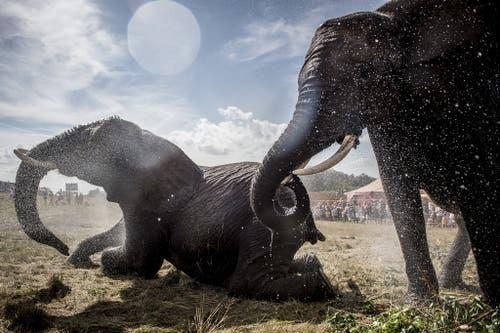 Sogar den Elefanten in einem dänischen Zirkus ist es zu heiss. (Bild: Keystone)