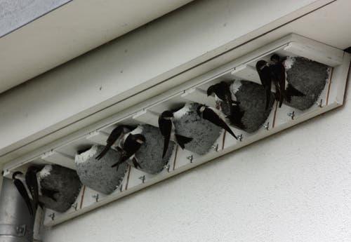 Wohnungsbesichtigung der Mehlschwalben bei den letztes Jahr montierten Nestern. (Bild: Lucia Risi)