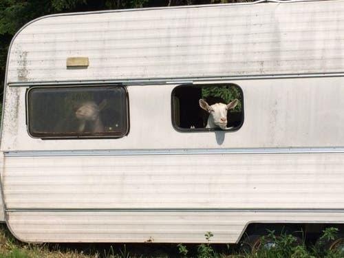 Hier kommt auch für Geissen Ferienstimmung auf. Sie grüssen aus dem Wohnwagen. (Bild: Maya Gander)
