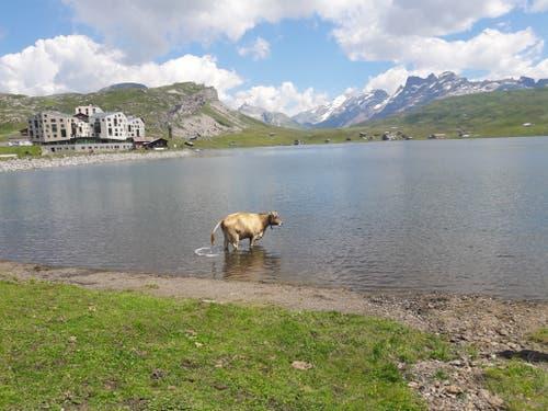 Diese Kuh geniesst nicht nur das Wasser im erfrischenden Melchsee, sondern sorgt gleich selber noch für «Nachschub». (Bild: Martha Sona)