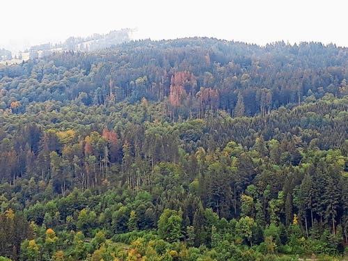 In der Region «Hinterwald» im Gamser Forstrevier lassen sich die vom Borkenkäfer befallenen, dürren Bäume gut erkennen. (Bild: PD)