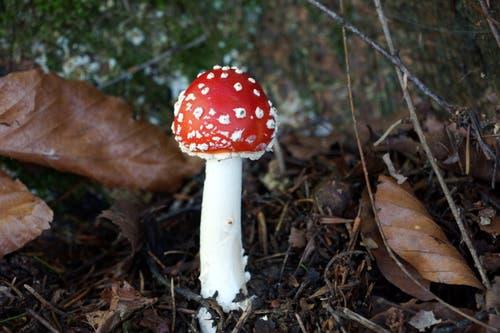 Nichts für Pilzsammler: ein junger Fliegenpilz wie aus dem Bilderbuch am Gübsensee. (Leserbild: Ingrid Zürcher - 28. September 2018)