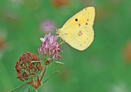 Die Flügel verraten den Namen dieses Falters, gesehen im Naturschutzgebiet Gnappi in Stans: Goldene Acht. (Bild: Bruno Schuler)