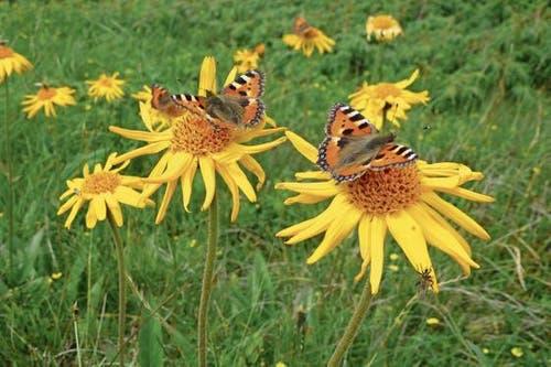 Die Schmetterlinge hatten ihren Flugtag am Miesenstock im Langisgebiet (Bild: Erika Zumstein)