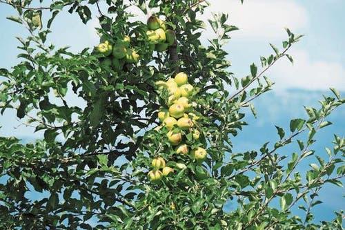 Die Sommerhitze brachte dem Bauern in Oberdorf grosse Ernte. (Bild: Edith Pargger)