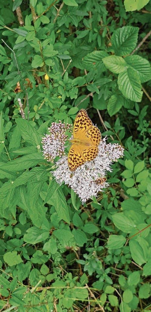 Falter zum Dritten: Dost mit Schmetterling und Biene, gesehen in Giswil unter dem Rietlisteg. (Bild: Sonja Küchler)