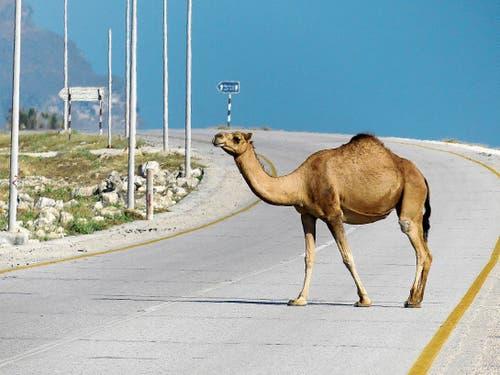 Ganz selbstverständlich und in stoischer Ruhe überqueren Kamele Omans Strassen.