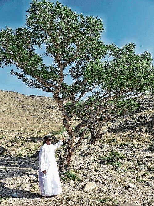 Weihrauchbaum im Süden des Landes.