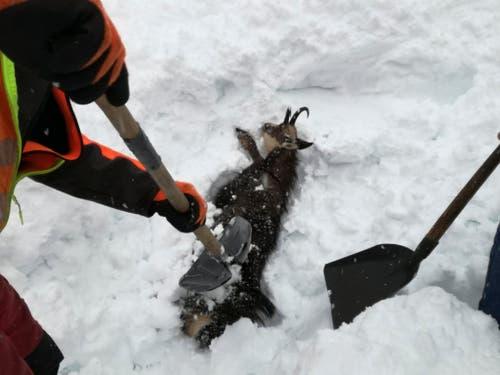 Auch Tiere wurden vom Schnee verschluckt. Mitarbeitende der Österreichischen Bahn buddeln die Tiere wieder aus. (Bild: KEYSTONE/AP/OEBB/GOTTSBACHER)
