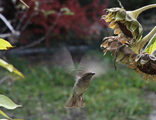 Ein Spatz im Anflug auf eine Sonnenblume. (Bild: Reto Voneschen - 6. November 2011)