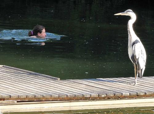 Die Schwimmerin scheint einen anderen Graureiher aber nicht zu stören. (Bild: Klaus Stadler)