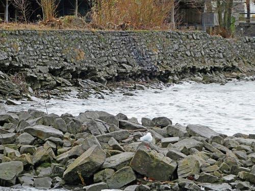 Der tiefe Wasserstand des Bodensees hat die Löcher in der Ufermauer ans Licht gebracht. Der Thaler Gemeinderat hat zum Schutz der dahinterliegenden Flachwasserzone die Sanierung der Mauer beschlossen.