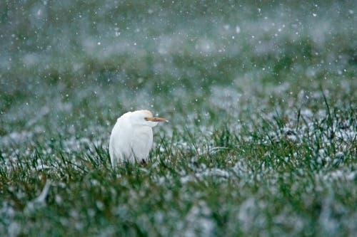 Diesem Kuhreiher, ein extrem seltener Wintergast, gefällt dieser Schnee bestimmt nicht besonders. (Bild: Marianne Schmid (Wangen, 5. Januar 2019))
