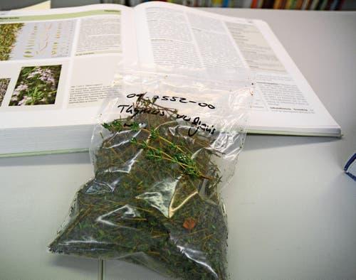Vor der Produktion wird ermittelt, ob es sich um die richtige Pflanze handelt. (Bild: Karin Erni)