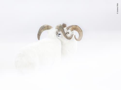 Zwei männliche Dall-Schafe, mitten im Schnee im Kampf verhakt. Für die Aufnahme trotzte der Franzose Jérémie Villet im Yukon-Territorium im Nordwesten Kanadas starkem Wind, heftigem Schneefall und eisigen Temperaturen. Er gewann in der Kategorie «Rising Star Portfolio Award». (Bild: Jérémie Villet, Frankreich)