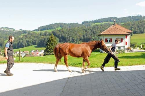 Prüfender Blick des Meisters: Kutschenpferd Figaro mit Marc Roth bei der Schlusskontrolle. (Bild: Michael Hug)