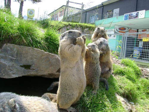 Ein Bild aus dem Jahr 2011: Stolz präsentieren sich die Murmeli im Gehege. (Bild: PD)