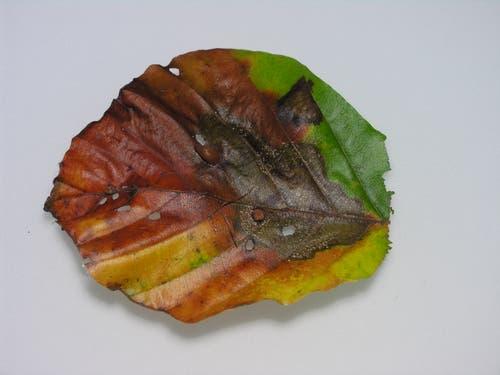 Die Fruchtkörperchen des Buchenpathogens sind als weisse Sprenkelung zu sehen. (Bild: PD/Ottmar Holdenrieder)